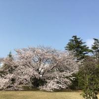 見事な桜の木を見つけました