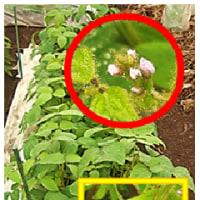 夏野菜 類の 着花 - 2
