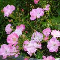 「ほほえみ」さんが咲いています。