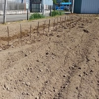 自然薯の植え付け