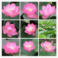 20020623千葉公園ハス。ハスの花は大好きだ。