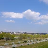 多摩川の桜を確認しに、久しぶりの多摩サイ修行
