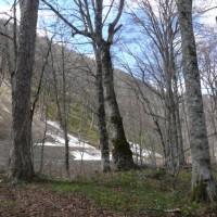 「いちのせき健康の森」自然観察会・オクエゾサイシン(奥蝦夷細辛)2017年4月22日(土)