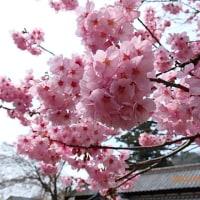 カタクリ&(陽光)桜