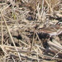 手賀沼  ホオジロ科の野鳥 ~ホオジロとカシラダカ~