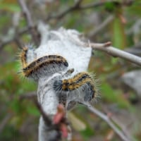 数千匹のエゾシロチョウ越冬幼虫全滅