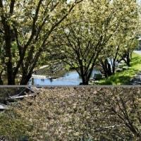 泉の御衣黄桜 (南伊勢町)