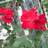 100種類の薔薇を育てる個人宅の薔薇園