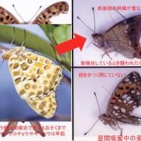 1.チョウやガの翅に残る鳥の嘴によってできた傷から何がわかるか?その5
