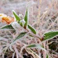 月見草の花に霜