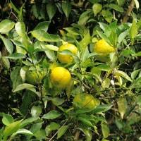柚子の実の魅力。むつかしいものがあるが。