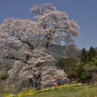 過去の写真~桜(広島県庄原市 東城三本さくら)