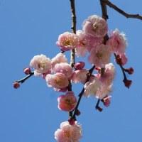 ピンク系の梅
