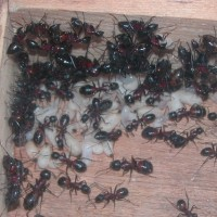 1081 ムネアカオオアリコロニー 羽化