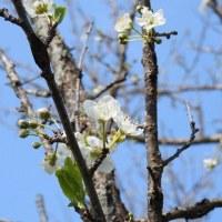 実家の果物の花