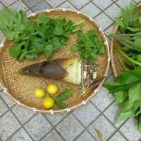 今日の収穫 筍