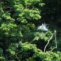白鷺のコロニー ②