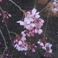 六義園と上野東京国立博物館のしだれ桜
