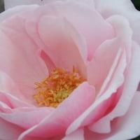 可児市花フエスタの撮影会 今年は長く寒かったからか、薔薇が少ししか咲いてなかったです。