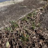 野生のスミレの生態 2017年2月 アリアケスミレの開花までの定点観察①