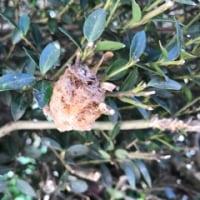 カマキリの巣