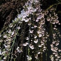☆花火と桜☆