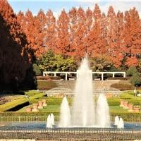 冬紅葉(レンガ色)が美しいメタセコイア