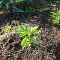 夏野菜の植えつけ 1