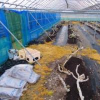 施肥されたお客様のイチジク畑