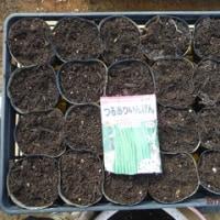 スティックセニョール発芽  チンゲンサイ定植