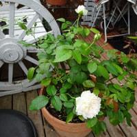 雨の合い間に・・庭作業