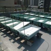屋上菜園96  (H29.5.29~ )