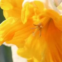 大輪のスイセンとムスカリが咲き始め