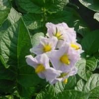 ジャガイモの花^^まっさかり