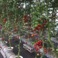 トマト狩り連日開催