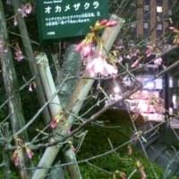 下向きに咲く桜?