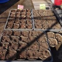 ゴールドラッシュ(トウモロコシ)のひと袋と岩姫(枝豆)の残りを播種しました