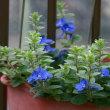 庭のお花達 小さなギボウシ他