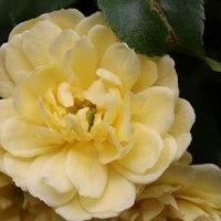 黄色のモッコウバラも綺麗ですね!