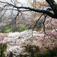 屏風岩の桜 2017 その1