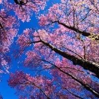 桜はまだ先ですが・・・