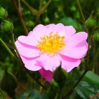 洞峰公園のバラ