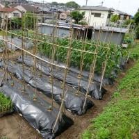 夏野菜成長記(5月25日)