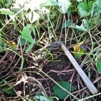 小学校の芋掘りの手伝いに行く