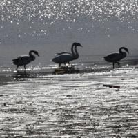 ガバ・多々良沼の白鳥2017(その5)
