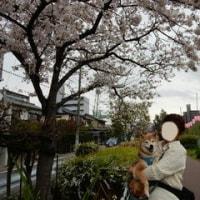 今年の桜 4 (いろいろ)