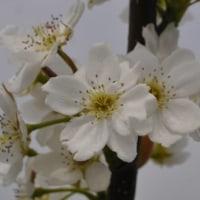 梨の花が満開!・・・・呉羽梨の幸水・・・・