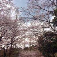 桜🌸サクラ