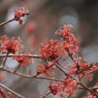 春めいてきた砧公園で トサミズキ、カラスノエンドウ、サンシュユ、ハナノキ、ヒメリユウキンカ、カタクリ、アセビ、ヨウコウ