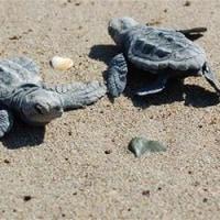 「ウミガメ・ビーチでのビジネスは規則を守ってください」森林・水務省